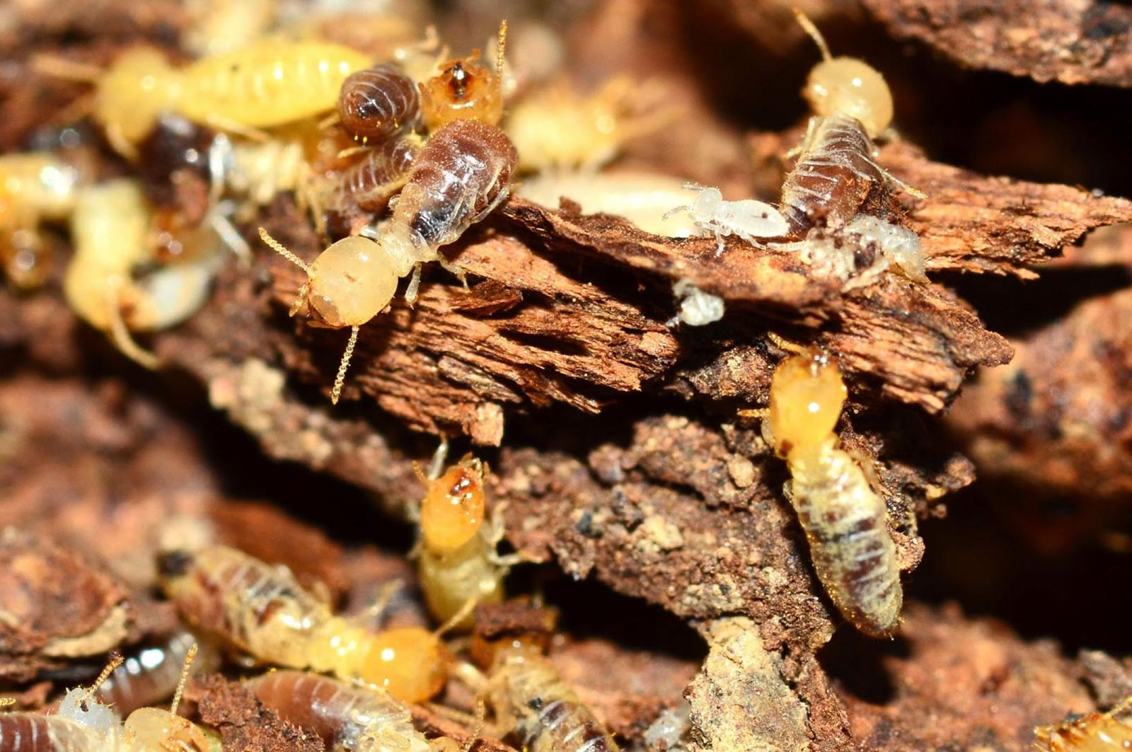 termite inspection building pest gold coast brisbane
