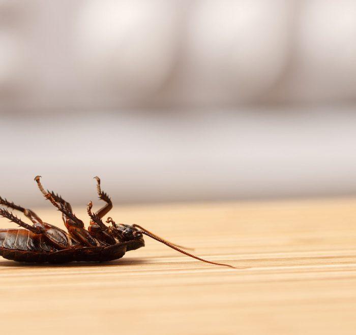cockroach pest control gold coast