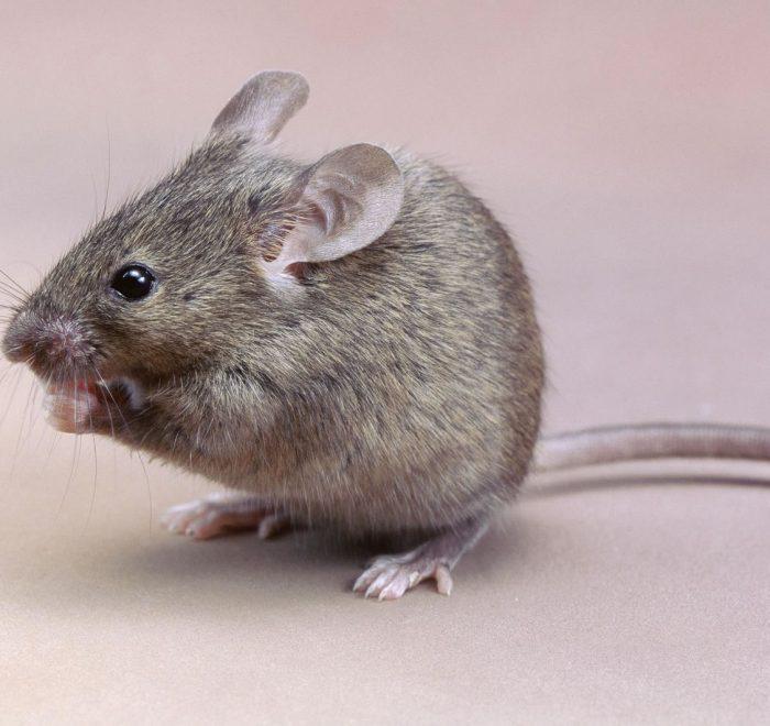 pet friendly rodent pest control gold coast brisbane